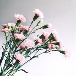 freetoedit carnation flower flowers bouquet