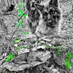 joke my myedit myphotography germanshepherd