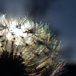 dandelion dandelionfluff freetoedit sunset nature