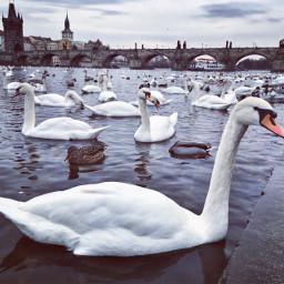prague art swan swanlake colorful
